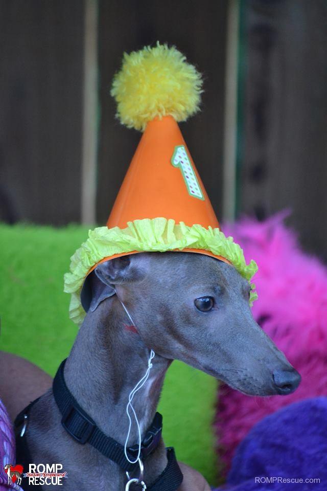 italian greyhound, birthday, gotcha day, happy birthday, hat, cake, candle, doggy cake, dog birthday, dog, iggy, ig, pet, iggies, italian greyhounds