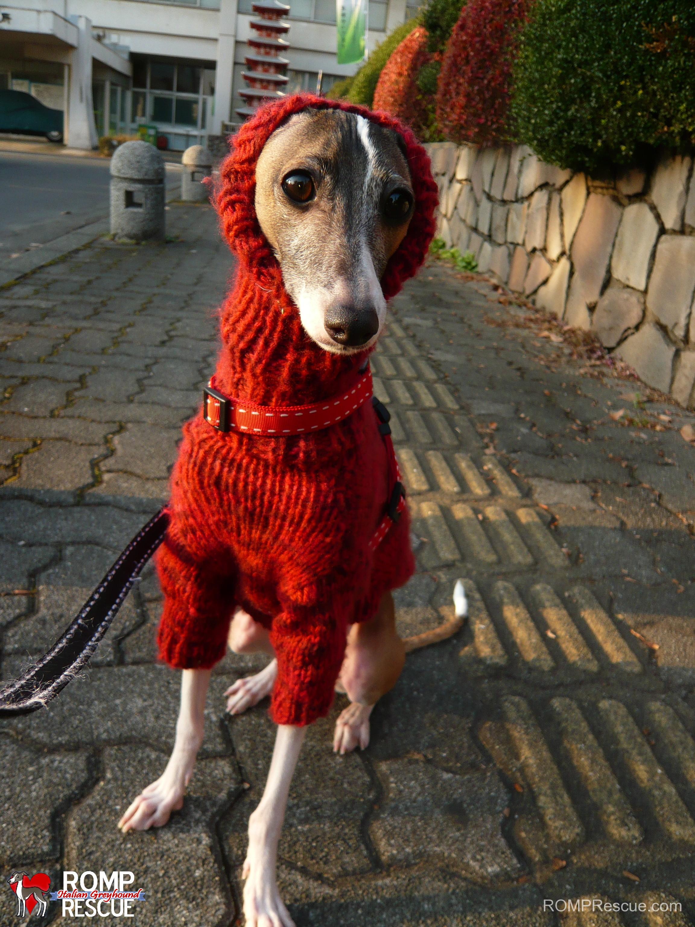 Italian Greyhounds wearing turtlenecks, Italian greyhound funny, funny italian greyhound, italian greyhound turtleneck, italian greyhound turtle neck, turttle neck italian greyhound, turtleneck, turtle neck, italian greyhound, italian, greyhound