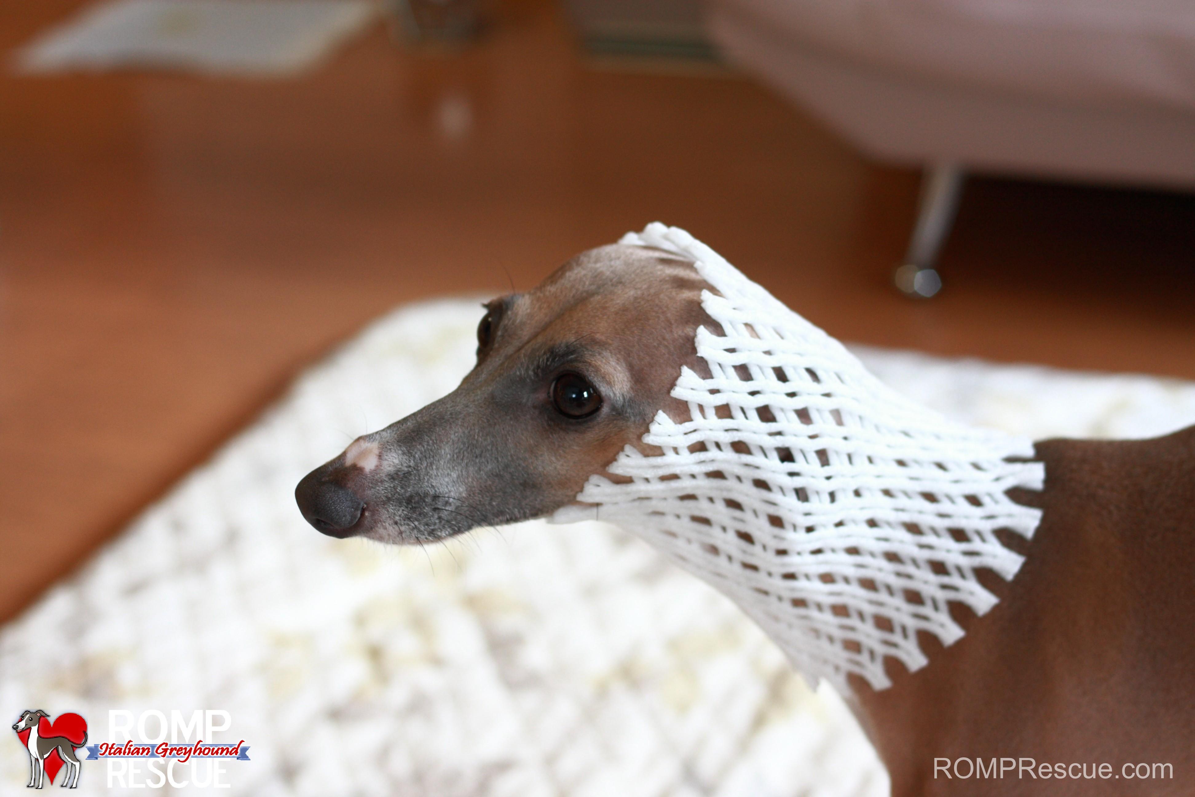 italian greyhound wallpaper