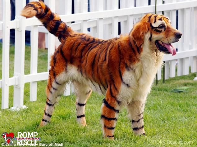 pet paint dog paint halloween costume lion tiger painted tiger & Pet Paint Halloween Costumes - ROMP Italian Greyhound Rescue ...