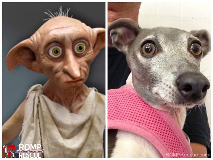 italian greyhound doppelganger, giraffe, italian greyhound, italian, greyhound, funny, cute, hilarious, lookalike, look a like, looks like, dobby