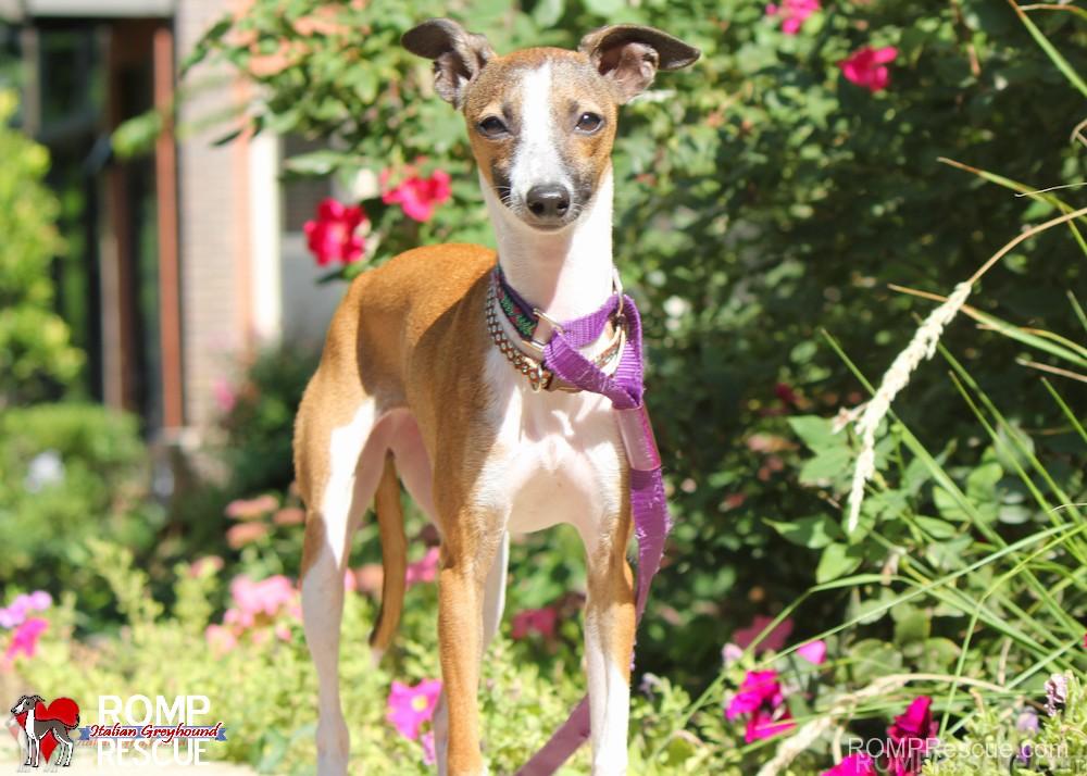 Wisconsin Italian Greyhound Rescue - Hope - ROMP Italian ...