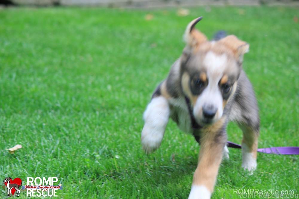 Chicago border collie rescue, border collie, chicago, collie, border, dog, rescue, shelter,a dopt, adoption, adopt, shelter