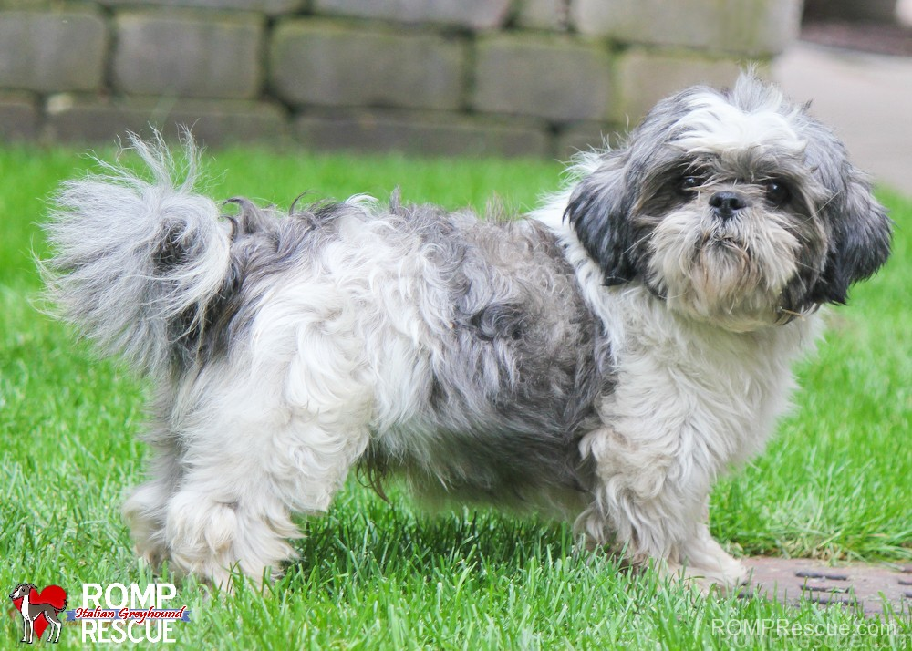 Shih Tsu rescue, chicago, rescue, shih tsu, shih tsu rescue chicago, chicago shih tsu rescue