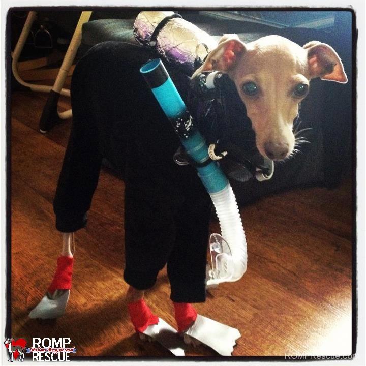 Izzy, italian greyhound, halloween, costume, costumes, scuba diver, scuba, steve, cute,