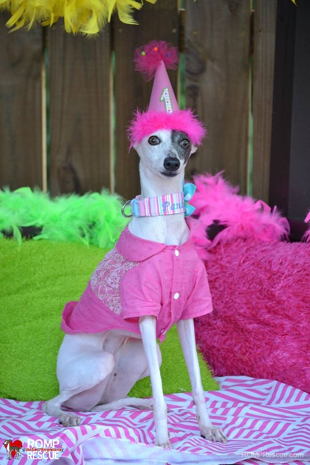 Candle Italian Greyhound Birthday Gotcha Day Happy Hat Cake