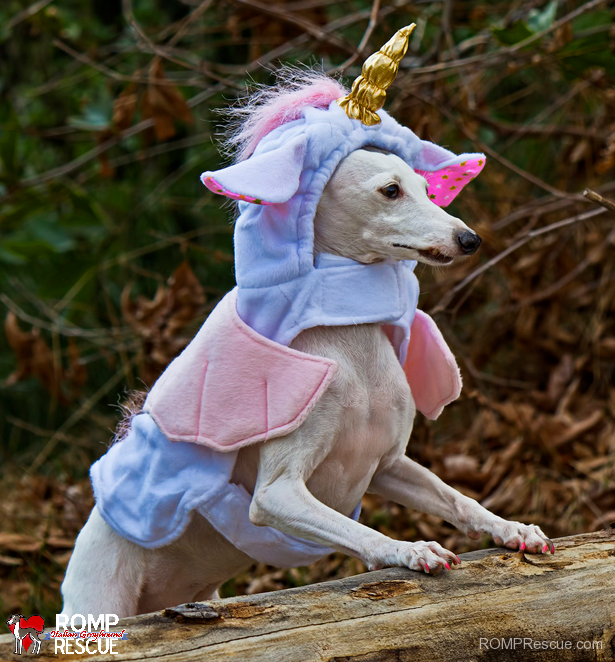 Italian greyhound, halloween costume, halloween, costume, unicorn, dress up, contest, winner, cute, diy, hand made, home made, handmade, homemade, do it yourself, unique, creative, cute, funny