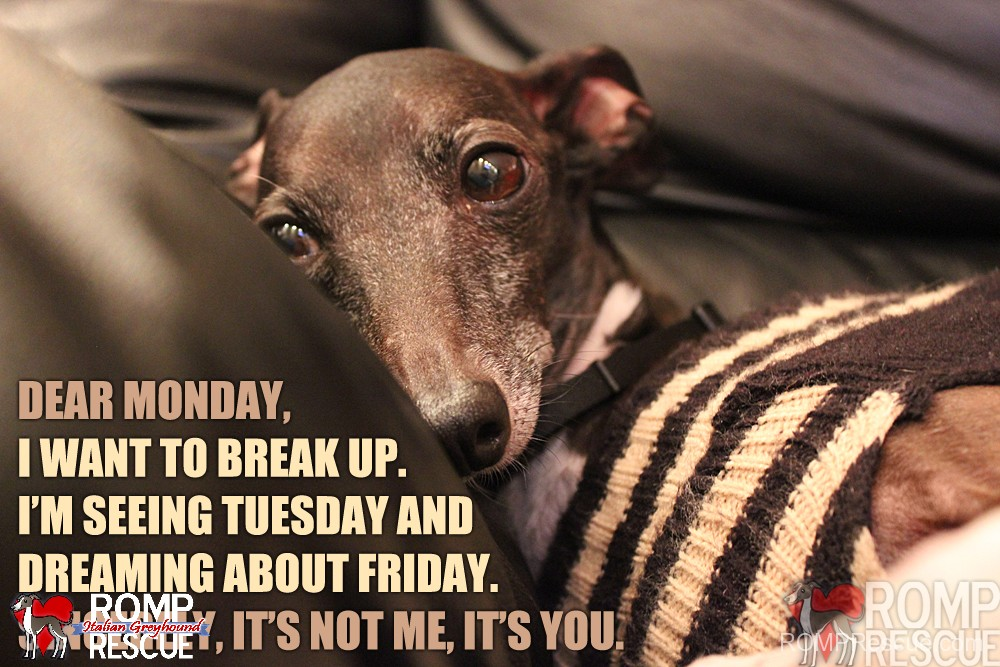 Funny Memes For Tuesday : Italian greyhound memes part 1 romp italian greyhound rescue