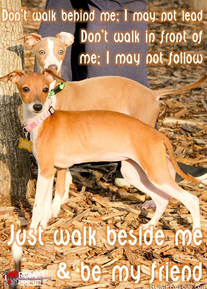 Italian Greyhound Memes Part 1 Romp Italian Greyhound