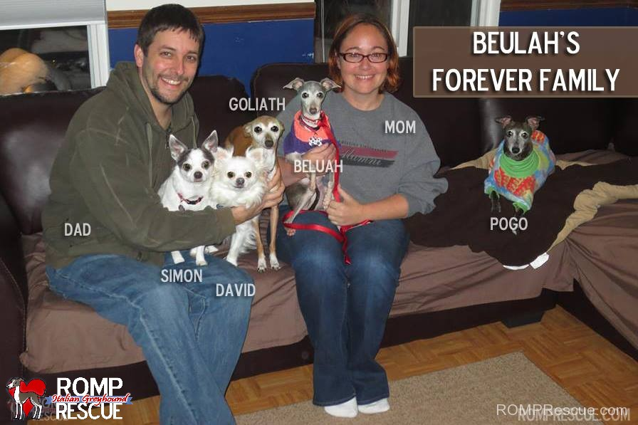 Chicago Italian Greyhound Adoptions, chicago, shelter, adopt, adoption, rescue, romp, iggy, ig, miniature greyhound, chicago