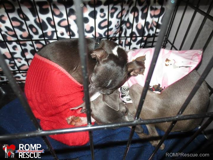 rescue, transport, rescue transport, italian greyhound, roadtrip, road trip, illinois, chicago, igca, iggy, shelter, help, volunteer