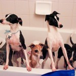 Italian greyhound mill rescue, puppy mill, italian greyhound, italian, greyhound, puppy mill, mill mama, mama, rescue, shelter, chicago, illinois, survivor, igca