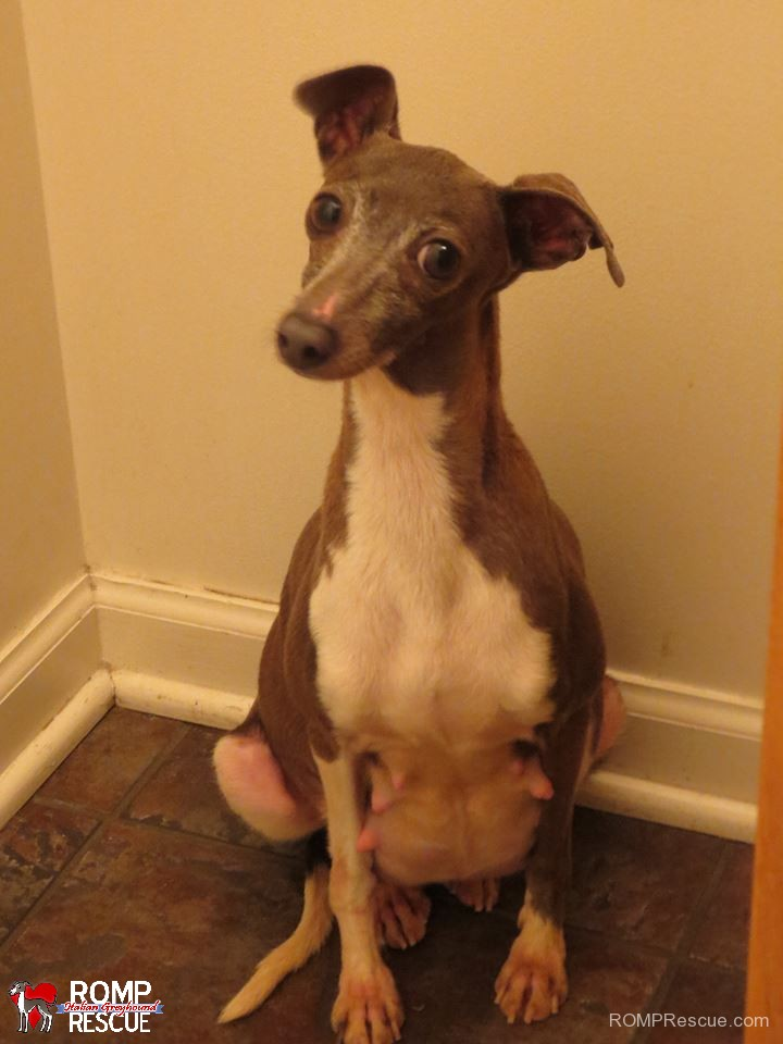 holly berry, italian greyhound, died, died, rainbow bridge, mill rescue, puppy mill, puppy mill rescue, mama, mom, momma, love, puppies, baby, orphaned, romp, chicago, illinois, lost,