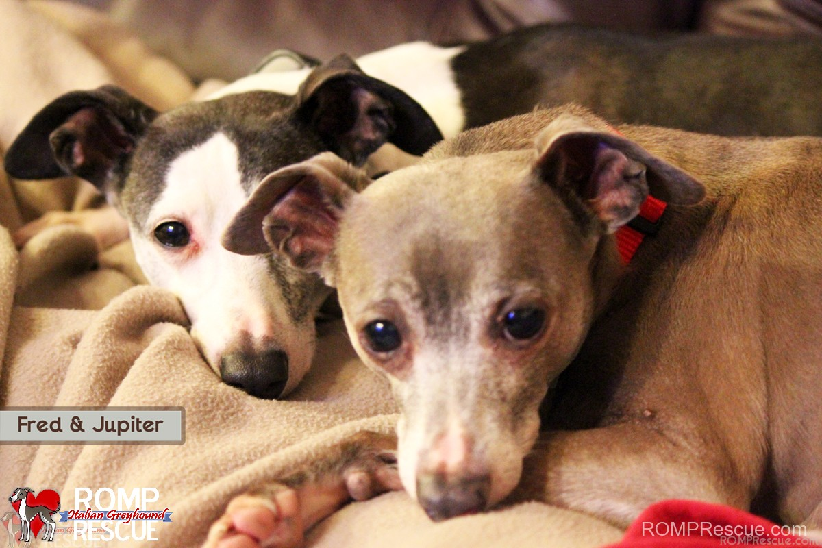 Fred and jupiter, italian greyhound, rescue, italian greyhounds, igca, illinois, chicago, romp rescue, brothers, shelter, save, biggie iggies, iggy, igs, wheatland, animal, hospital