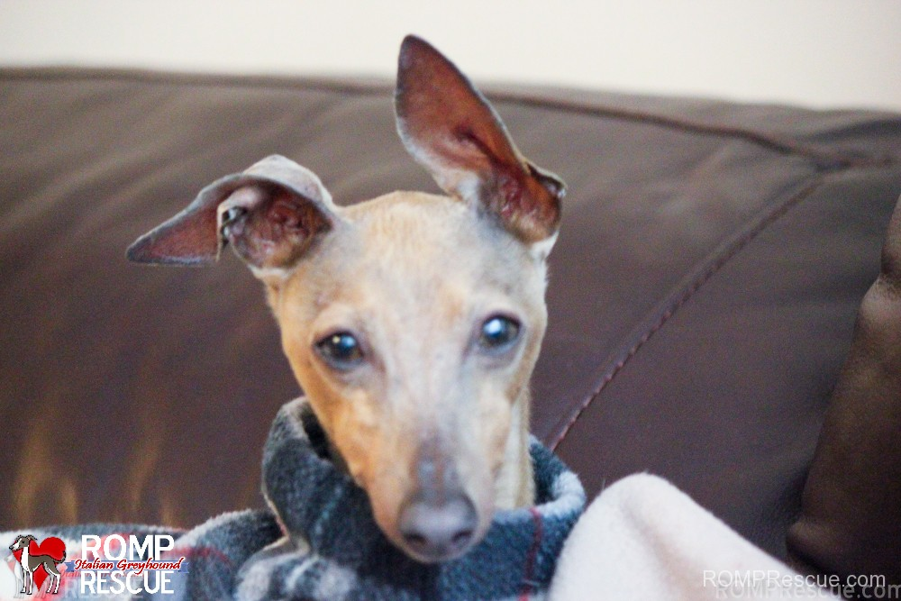 Pictures Of Italian Greyhounds Italian Greyhounds for...