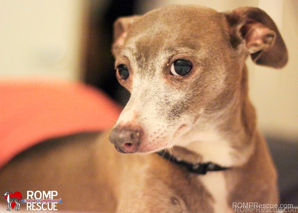 Adopt an Italian Greyhound - ROMP Italian Greyhound ...