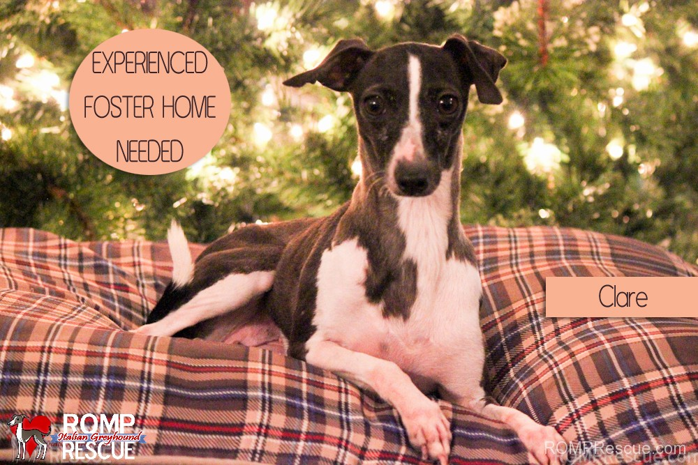 experienced chicago dog foster homes needed, foster home needed, foster home, dog, rescue, shelter, illinois, chicago, chitown, il, italian greyhound, puppy mill, mill dog rescue, mill dog