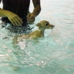 underwater puppies, photoshoot, seth casteel, chicago, stay chicago, stay dog hotel, teaching a dog to swim, swim, italian greyhound, ginger, taser, sharpie, crawford
