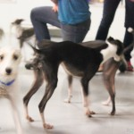 chicago play date, italian greyhound play date, italian greyhound, rescue, shelter, socializetion, meetup, social, party animals, small dog, iggy, puppies, free, illinois, romp rescue