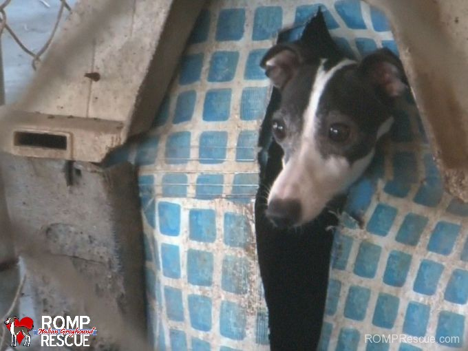 italian greyhound, arkansas, puppy mill, raid, bust, busy bee, iggies, itailian greyhound, italian greyhounds, rescue, hsus, human, society
