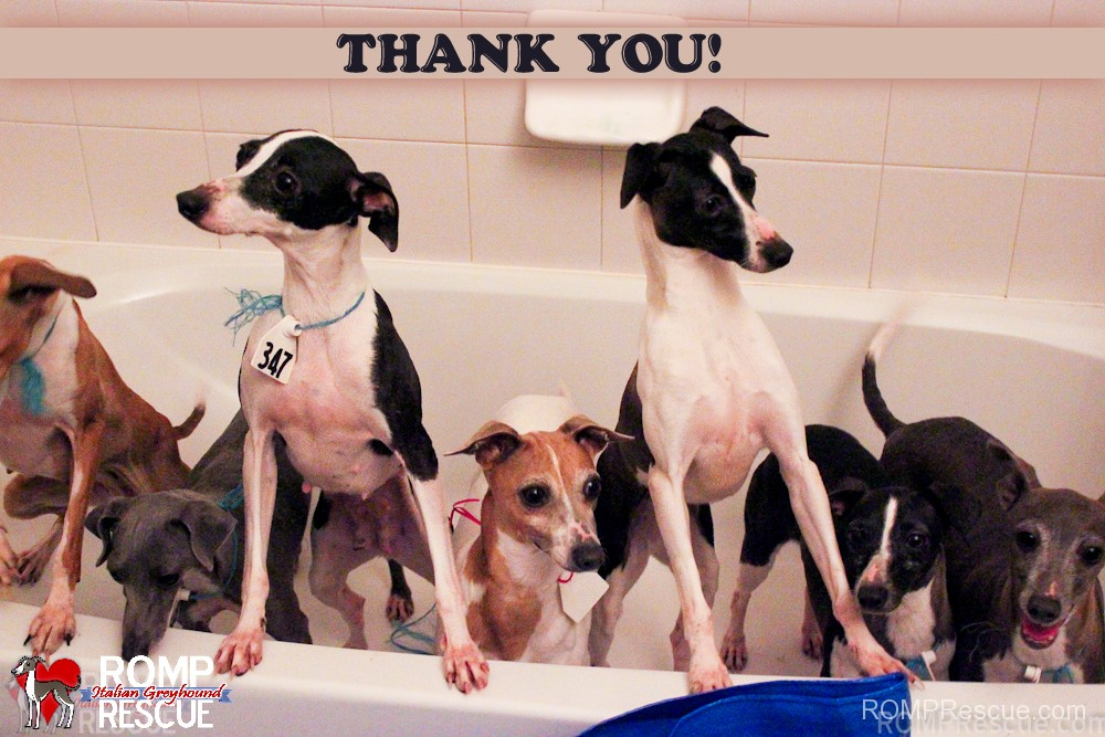 puppy mill moms, rescue, puppy mill, puppymill, mom, moms, females, thank you, italian greyhound, thanks, happy, bath