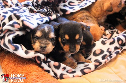 chicago, foster homes, needed, illinois, puppies, puppy, Chicago puppies need foster homes