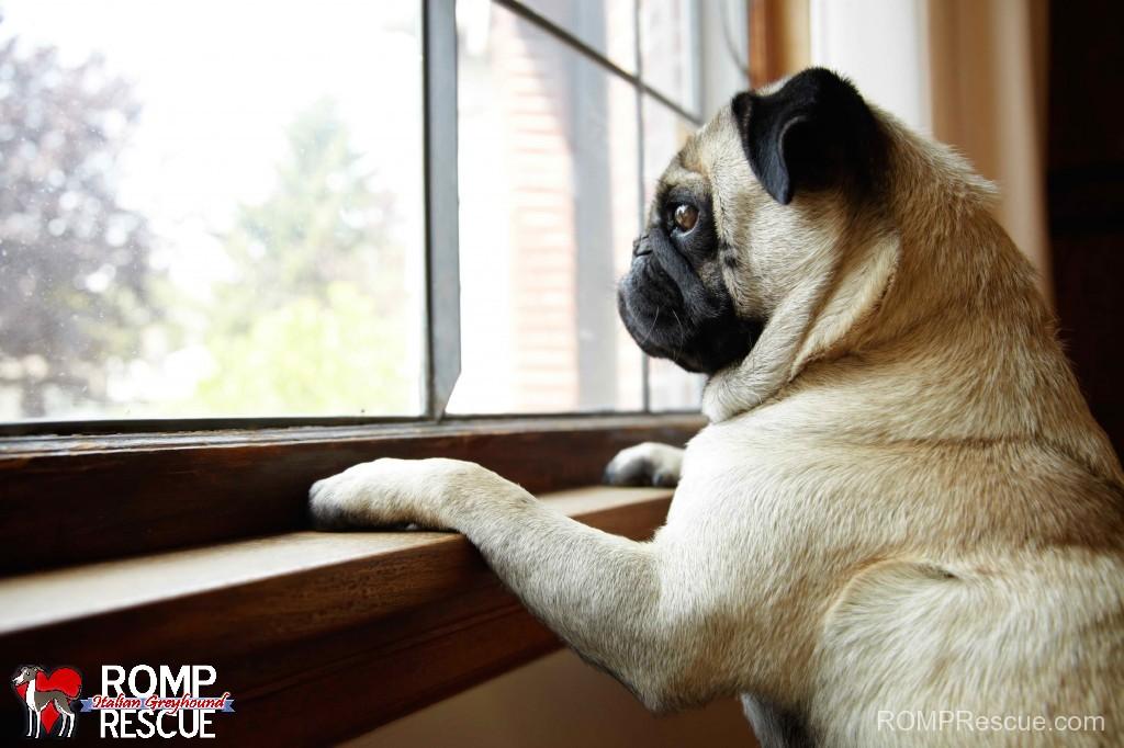 dog, Canine Separation Anxiety, italian greyhound